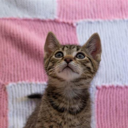 Mindy - Domestic Short Hair Cat