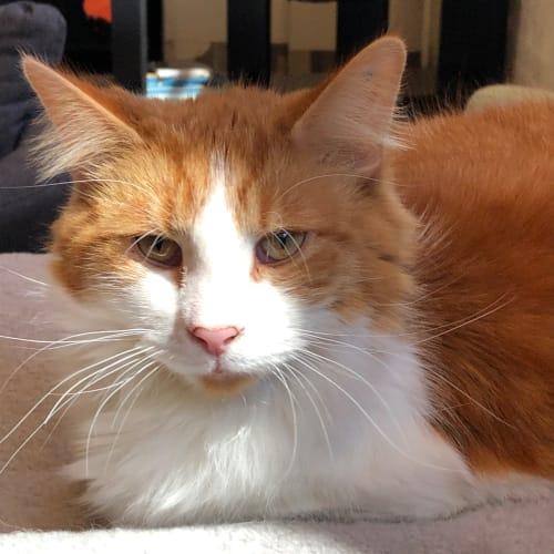 Geoffrey – Meet me at Neko HQ in Preston - Domestic Medium Hair Cat