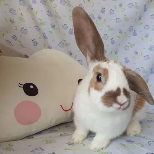 Chewy - Lop Eared Rabbit