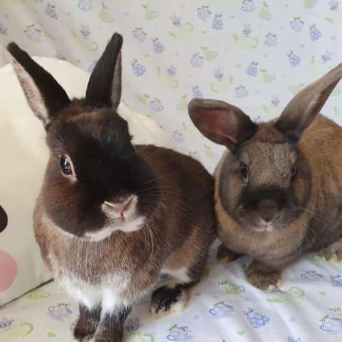 Manchee & Thumbelina - Netherland Dwarf Rabbit
