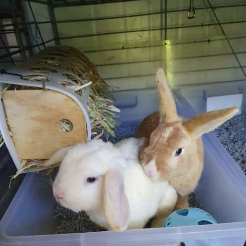 Finn & Bailey - Lop Eared Rabbit
