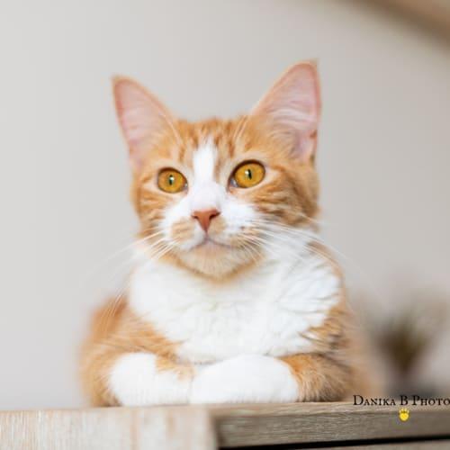 Cleo SC0666 - Domestic Medium Hair Cat