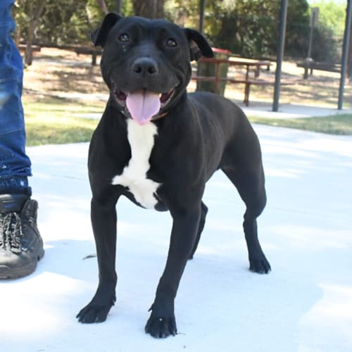 Zoey 32073 Campbelltown ACF - Staffy Dog