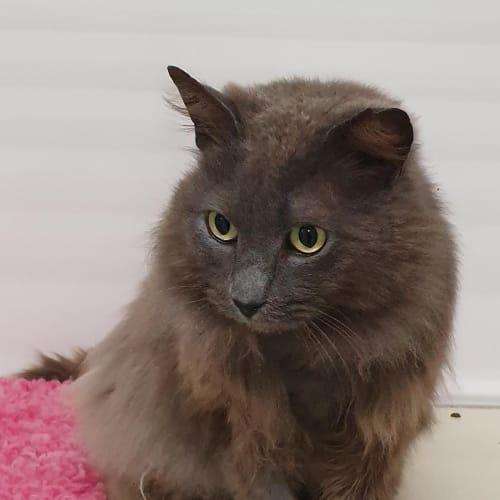 Willy - Domestic Medium Hair Cat