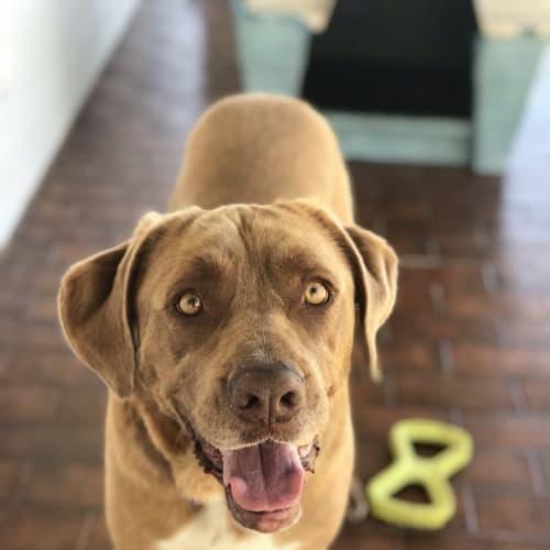 Russell - Neapolitan Mastiff x Border Collie Dog