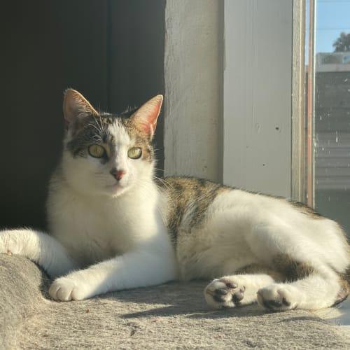 Satyr -  Meet me at Neko HQ in Preston - Domestic Short Hair Cat