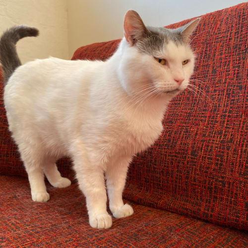 Georgie - Meet me at Neko HQ in Preston - Domestic Short Hair Cat