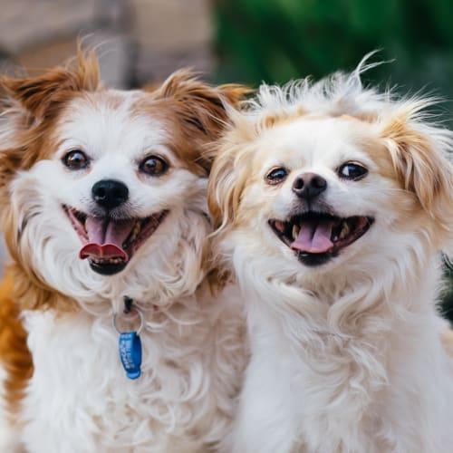 Georgia & Lenny  - Tibetan Spaniel x Maltese Dog