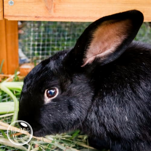 Sooty - British Giant Rabbit