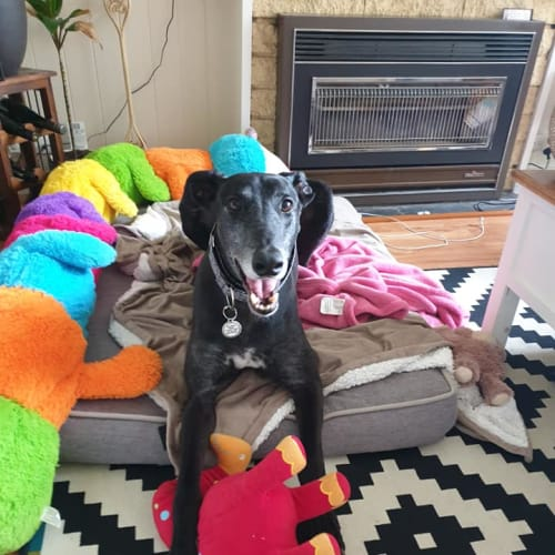 Woofa - Greyhound Dog
