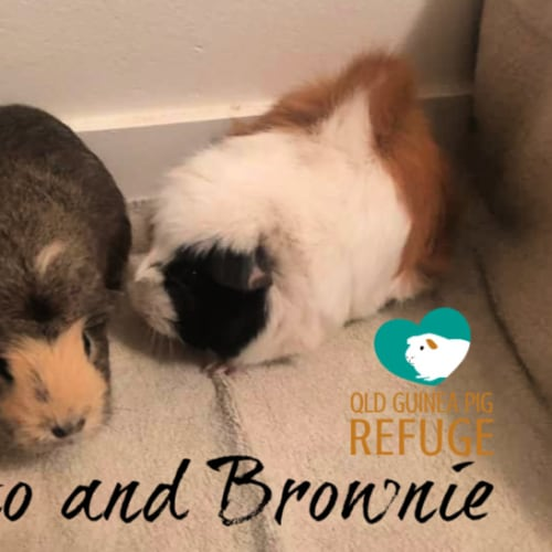Toto and Brownie - Abyssinian x Crested Guinea Pig