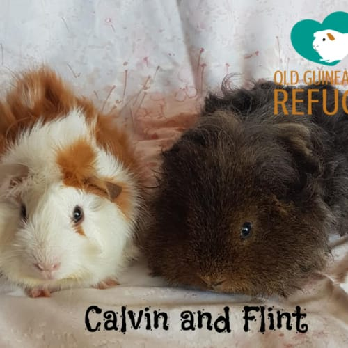 Calvin and Flint (indoor home only) - Guinea Pig