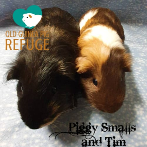 Piggy Smalls and  Tim - Guinea Pig