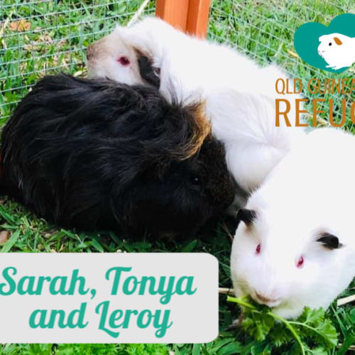 Sarah, Tonya and Leroy (desexed male) - Guinea Pig