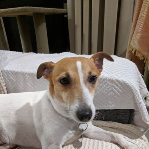 Coco - Jack Russell Terrier Dog