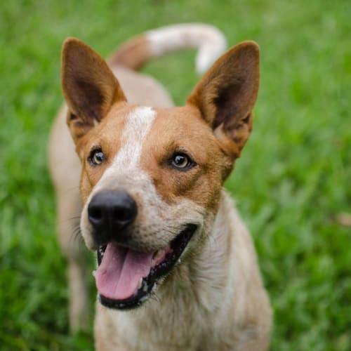 Freckle - Red Heeler Dog