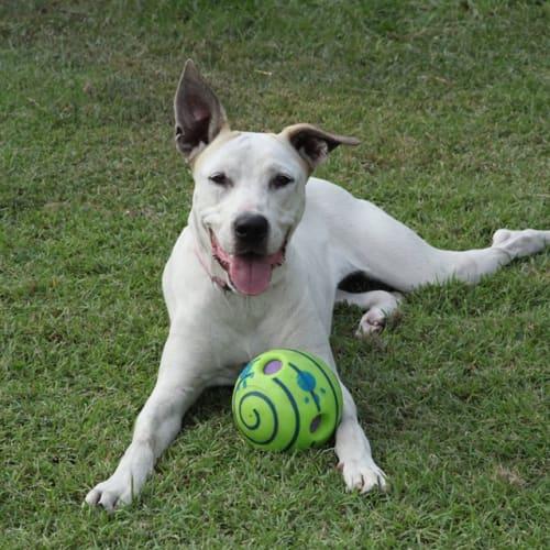 Isabell - Australian Cattle Dog x Bull Arab x Great Dane Dog