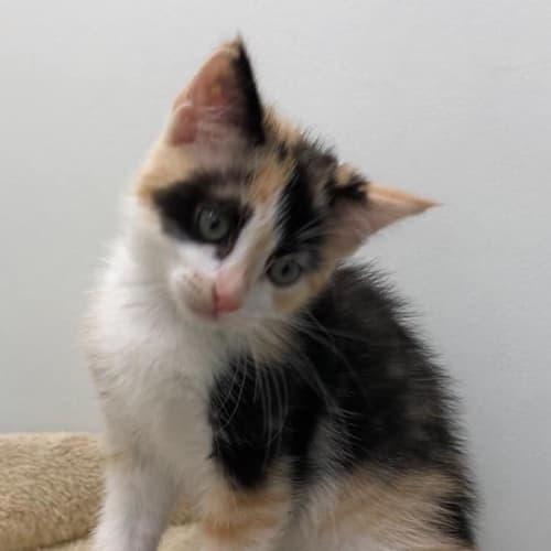 Kadie - Domestic Medium Hair Cat