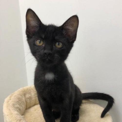 Fergus - Domestic Short Hair Cat