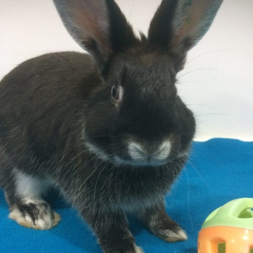 Terra - Dwarf Rabbit