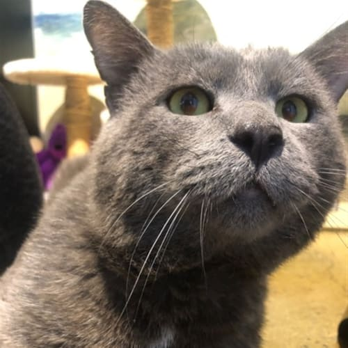 Kronk - Domestic Short Hair Cat