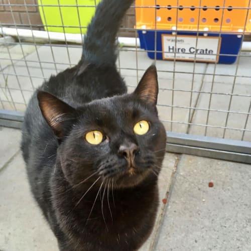 Cavan - Domestic Short Hair Cat