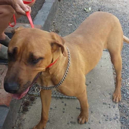 Dixie  - Hungarian Vizsla Dog