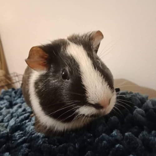 Badger - Smooth Hair Guinea Pig