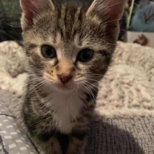 Greta - Domestic Medium Hair Cat