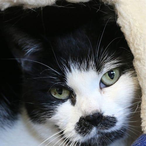 Puss - Domestic Short Hair Cat
