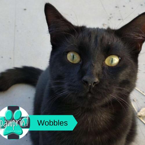 Wobbles - Domestic Short Hair Cat