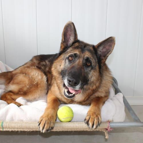 Sussy - German Shepherd Dog