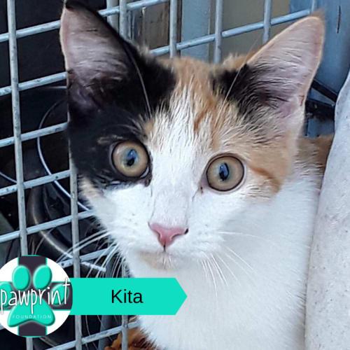 Kita - Domestic Short Hair Cat