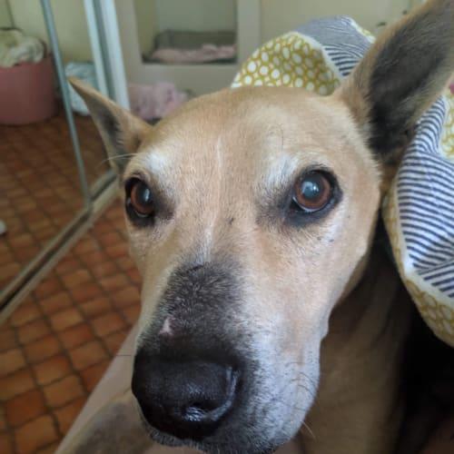 Saige  - Bull Terrier Dog