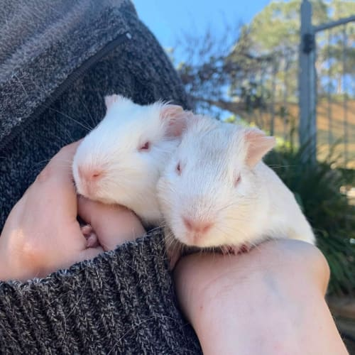 Ivory & Scatter - Smooth Hair Guinea Pig