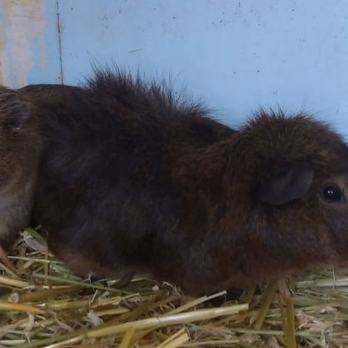 Honks & Pancake - Abyssinian Guinea Pig