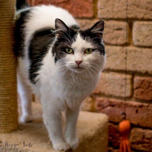 Bell (Mumma) - Domestic Long Hair Cat