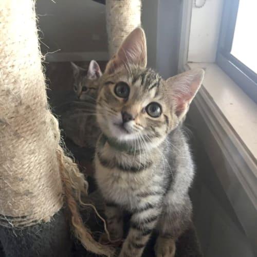 Crystal - Domestic Short Hair Cat