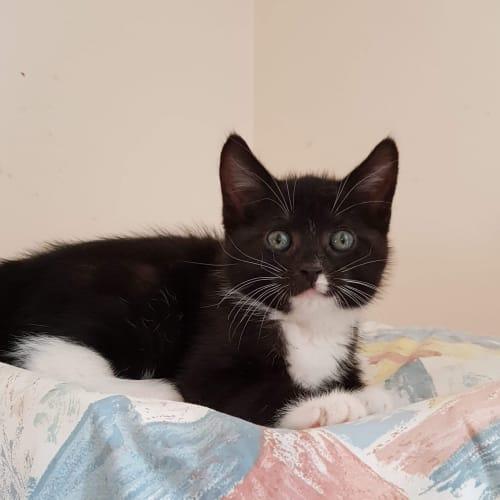 Rocky - Domestic Short Hair Cat