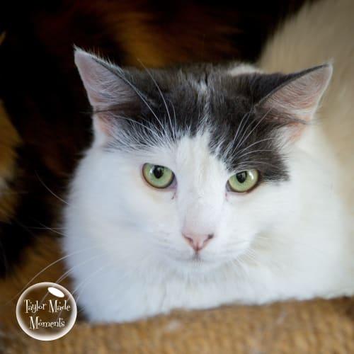 Quill  - Domestic Medium Hair Cat