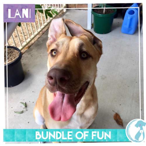 Lani - Mastiff Dog