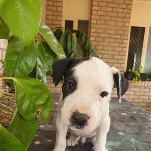 Aussie - Australian Cattle Dog