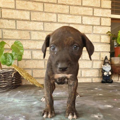 Sabah - Bull Arab Dog