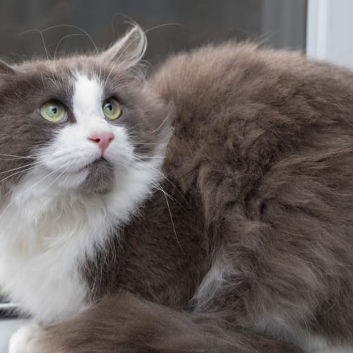 1645 - Sulley - Domestic Short Hair Cat