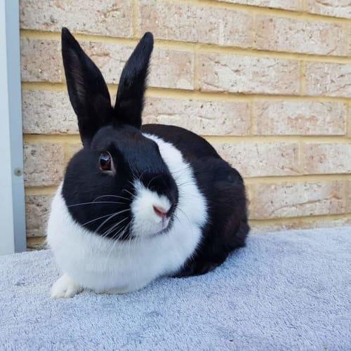 Rhubee - Dutch Rabbit