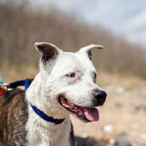 Nala - Staffy Dog