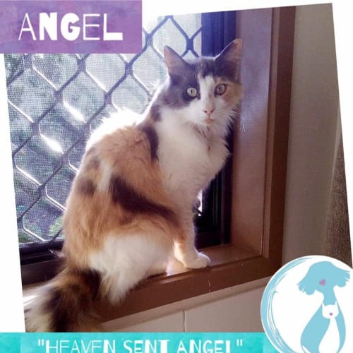 Angel  - Domestic Medium Hair Cat