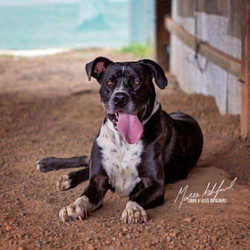 Porter - Mastiff Dog