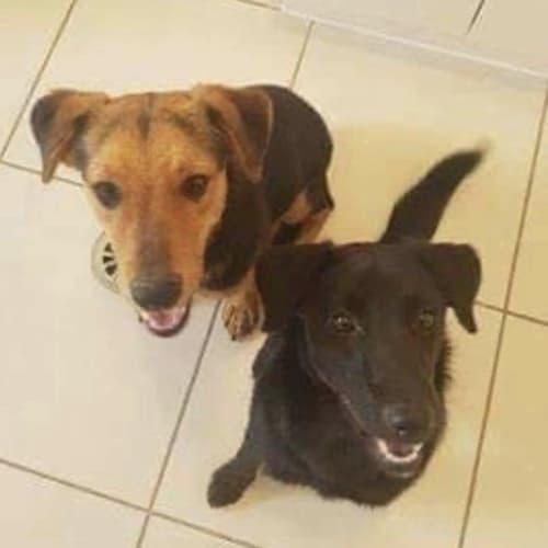 Bear & Ripper - Kelpie Dog