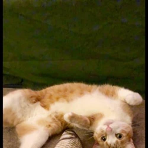 Aslan - Located in Carlton North - Domestic Short Hair Cat